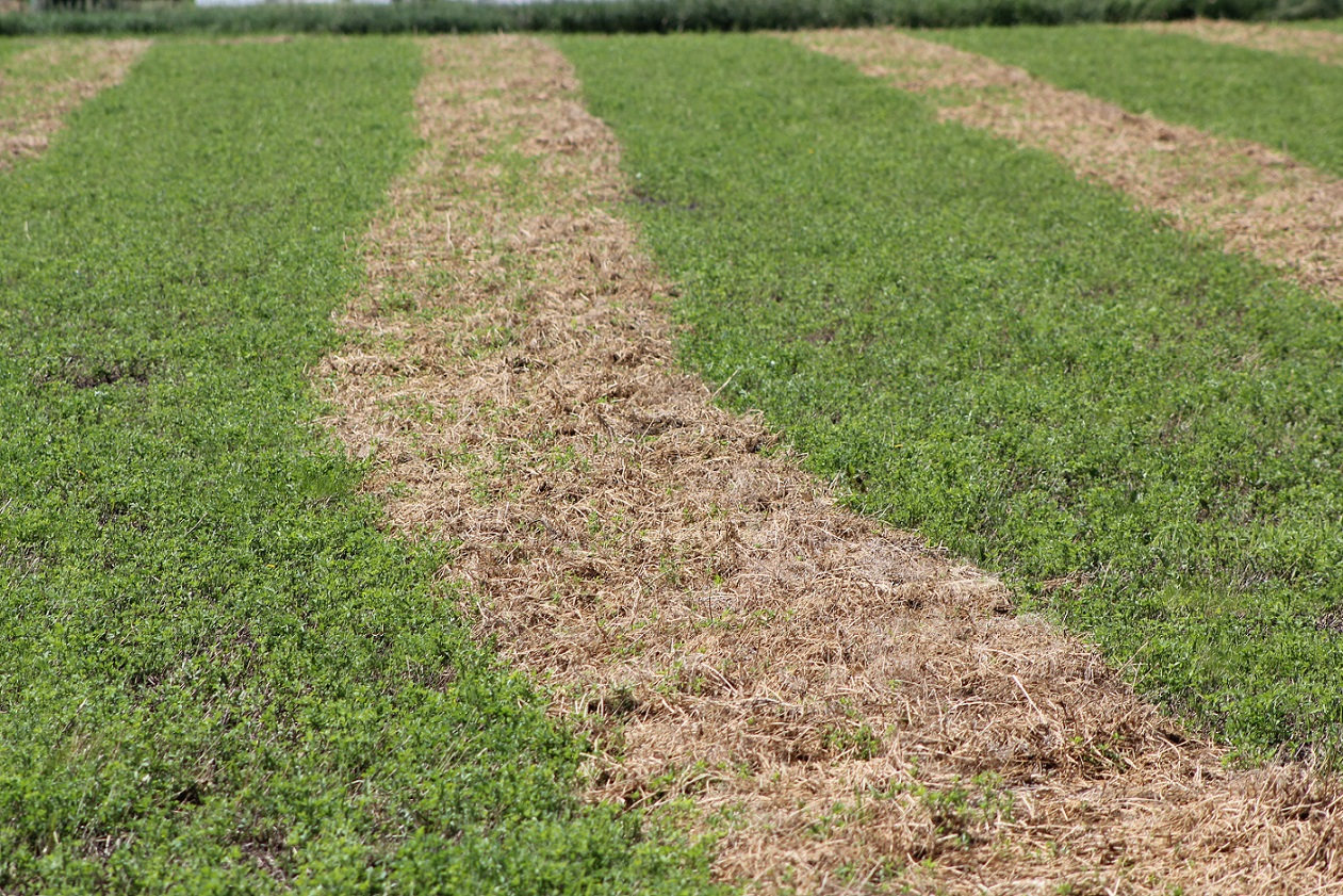 The 'windrow disease' that often follows rained on windrows presents lingering problems.  Photo courtesy of Troy Walz.