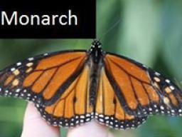Nebraska Game and Parks needs help tracking monarchs. (Courtesy of OutdoorNebraska.gov)