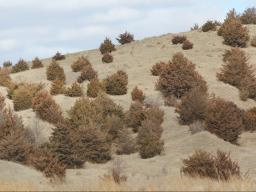 As cedars continue to expand in Nebraska, the School Land Trust has initiated an aggressive campaign to protect grazing revenue and halt cedar invasions onto Trust lands. Photo courtesy of Troy Walz.