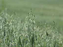 Oats may be one of our most under-used fall forages.  Photo courtesy of Troy Walz.