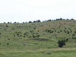 Cedar trees invade grasslands from a windbreak in the Loess Canyons ecoregion. A new report suggests that the expansion of eastern redcedar into grasslands reduces grazing capacity. | Dirac Twidwell, University of Nebraska-Lincoln
