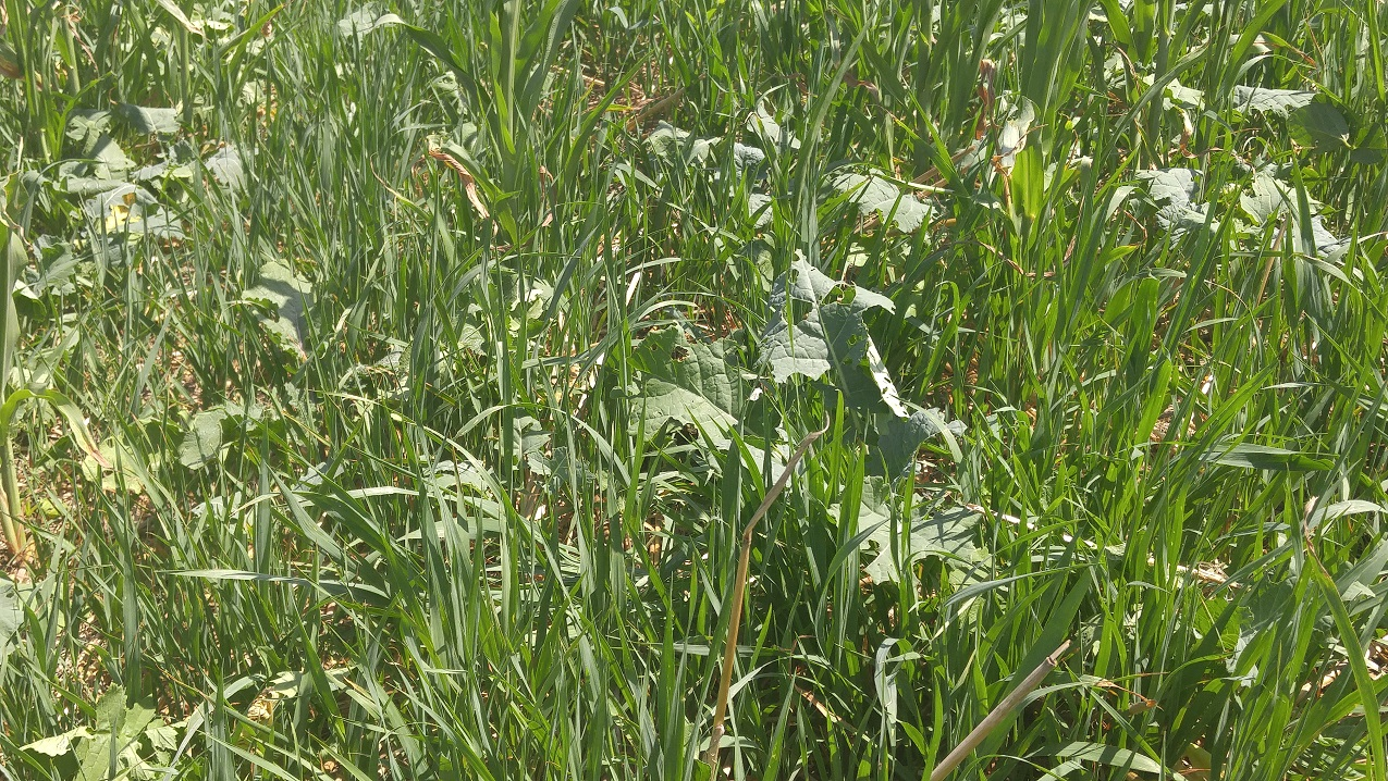 Planting cover crops such as brassicas and small grains during late summer or early fall is becoming a more common and accepted practice.  Photo courtesy of Troy Walz.