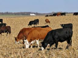 Corn residue is a tremendous feed resource for cattle in Nebraska.  Photo Courtesy of USDA.