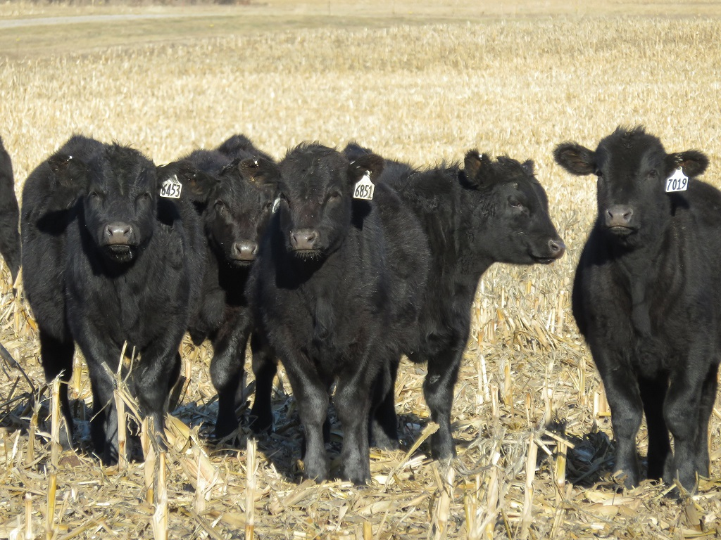 Corn residue is an important winter forage resource for cattle producers in Nebraska.  Photo courtesy of Mary Drewnoski.