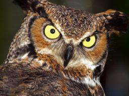 "Visitors will experience being predator and prey through a radio-controlled ""spider and mouse game"" and identify what owls – such as this great horned owl – prey on by dissecting an owl pellet at Sunday with a Scientist Oct. 9 at Morrill Hall. 