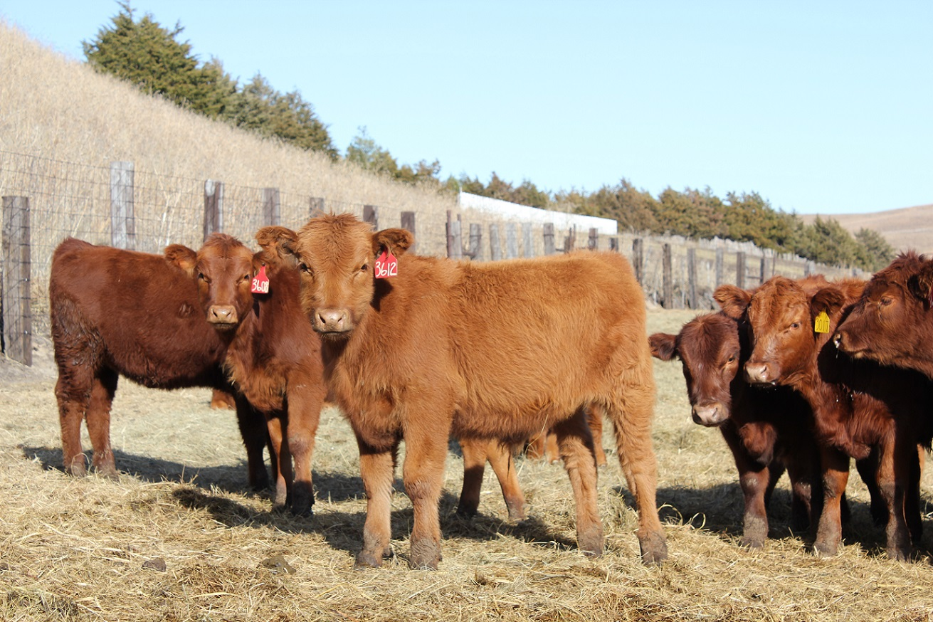 Right after weaning is a good time to analyze the business and see what it cost to produce a pound of weaned calf.  Photo courtesy of Troy Walz, NE Extension Educator.