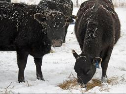 Moisture, high winds, and cold temperatures increase the cow's energy requirements.  Photo courtesy of Troy Walz.
