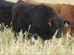 Producers want to know about the loss of forage quality if left standing.  Photo courtesy of Mary Drewnoski, NE Extension.