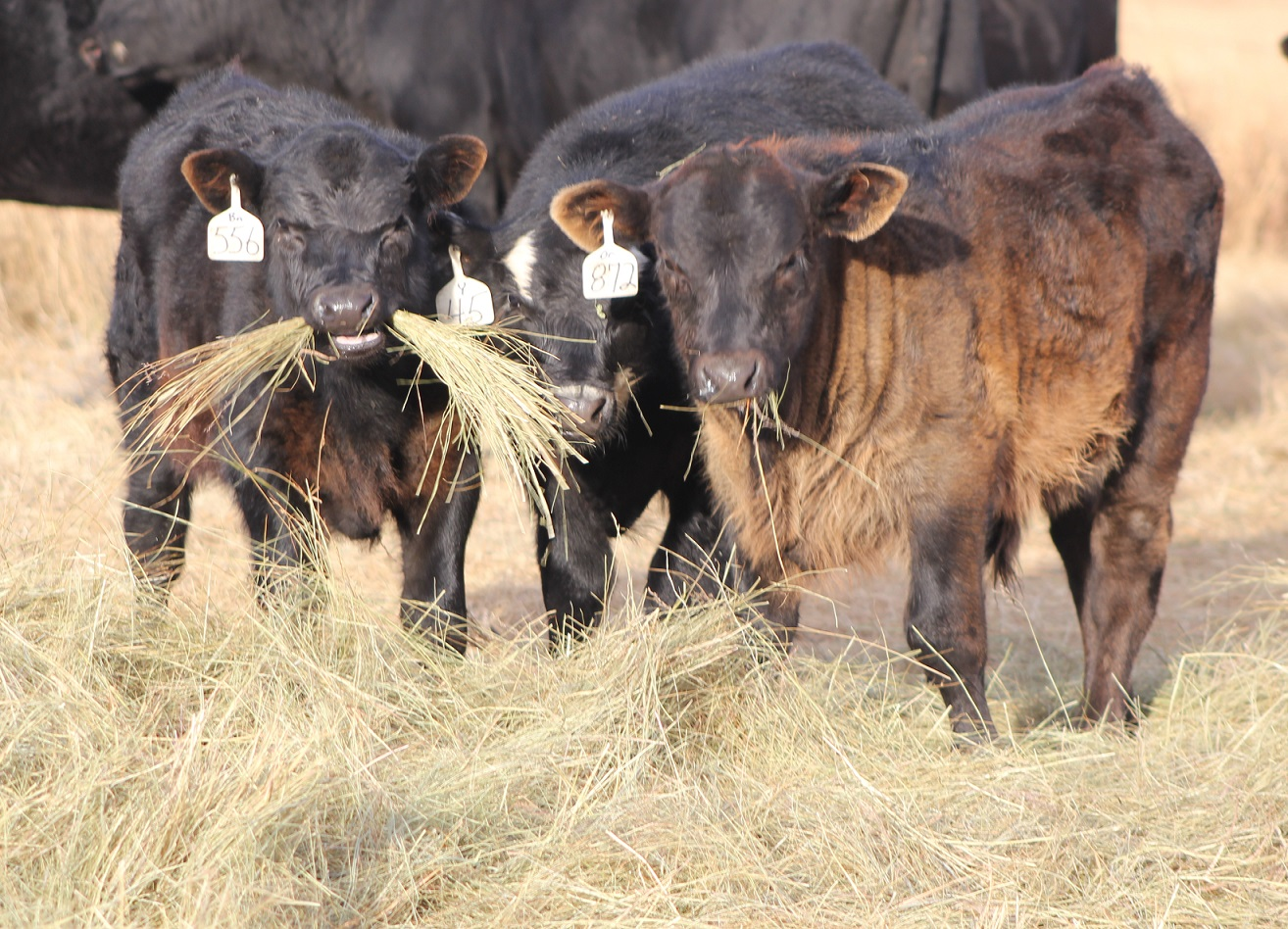 Cattle waste less hay when the amount fed is limited to what is needed each day.  Photo courtesy of Troy Walz.