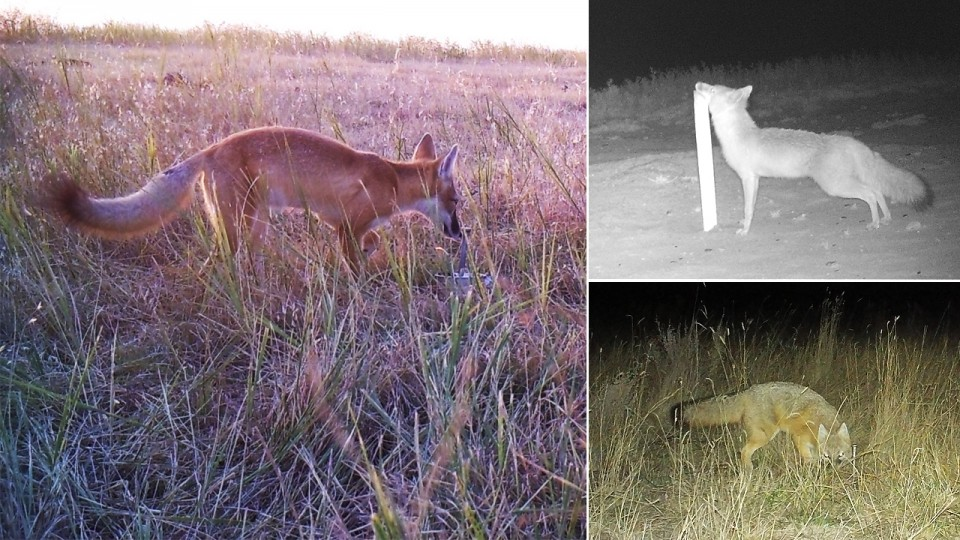 These images of the swift fox were captured as part of the Nebraska Canid Project, which identifies where the species lives to help inform its conservation in the state. | Courtesy of Nebraska Cooperative Fish and Wildlife Research Unit's Lucia Corral and