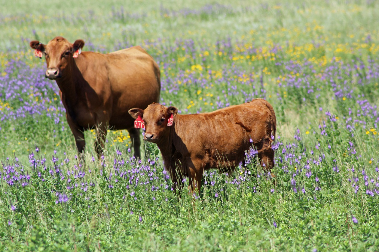 Grazing, reproduction, economics, and cattle health will be discussed at the Ranching for Profitability programs.  Photo courtesy of Troy Walz.