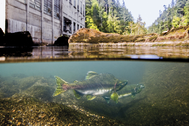 Prevented from migrating any further upstream, a spawning pair of pink salmon flirt over a gravel bed a stone's throw from the now removed Elwha Dam powerhouse in a scene from DAMNATION. | Matt Stoecker, DamNationFilm.com