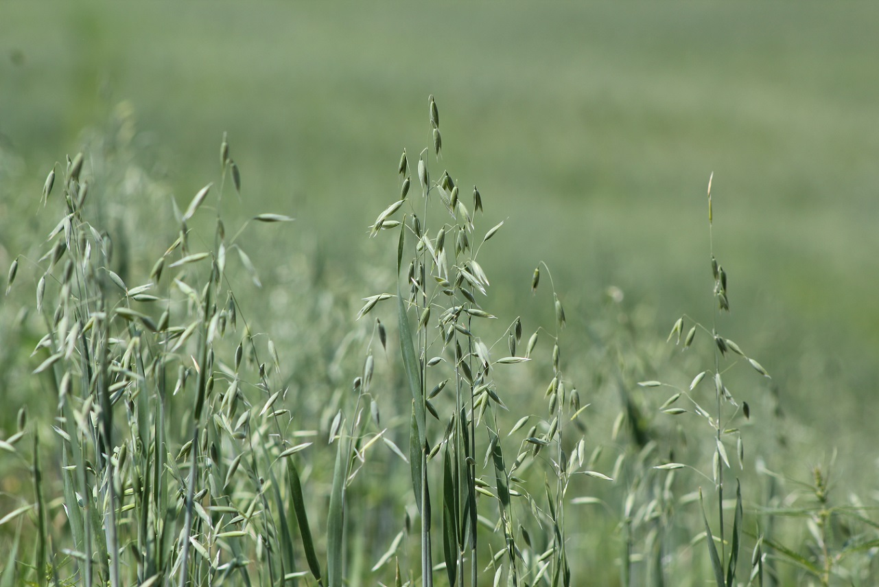 Oats should be a minimum of 6 inches tall before grazing.  Photo courtesy of Troy Walz.
