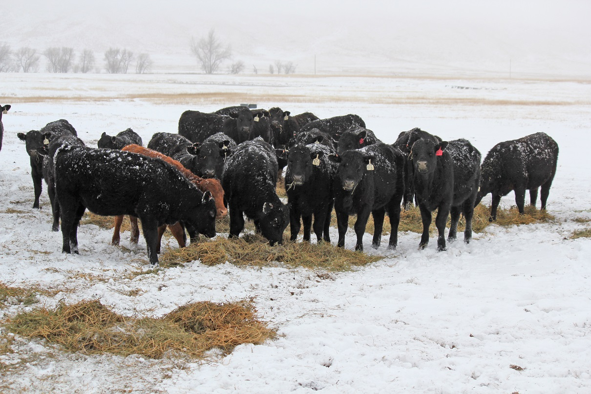 Livestock producers can now insure up to $1 million of revenue from animals and animal products.  Photo courtesy of Troy Walz.