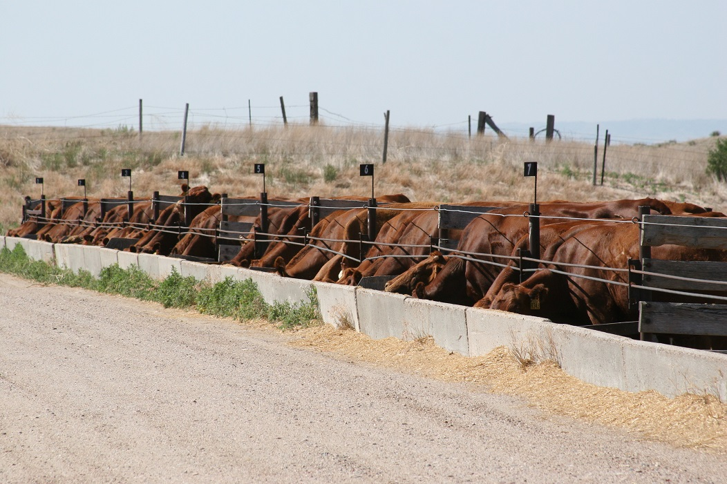 In the scenario of the confinement production cow, how little dry matter can be fed?  Photo courtesy of Karla Jenkins.
