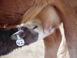 Antibodies in colostrum provide calves with their initial protection.  Photo courtesy of Troy Walz.