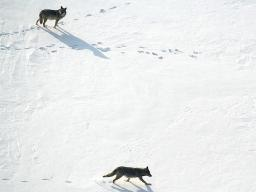 Eastern wolves once roamed forests along the Atlantic coast, preying on moose, white-tailed deer and other hooved mammals collectively known as ungulates. | Courtesy image