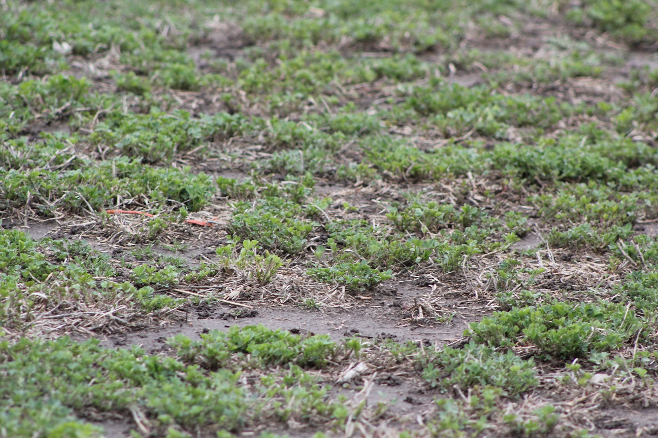 Evaluate your alfalfa stands early this spring to check for winter injury.  Photo courtesy of Troy Walz.