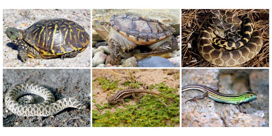 Nebraska Game and Parks Commission has voting open for state reptile.   Images SNR & NebraskaLand magazine