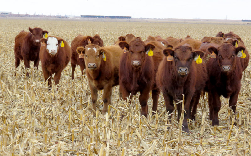 Heifers graze corn residue at a University of Nebraska-Lincoln research site. Researchers found that long-term grazing of residues has small effects on soil compaction and does not lead to crop yield losses. Photo credit Mary Drewnoski.
