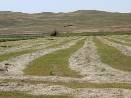 High quality hay should be harvested at the boot stage.  Photo courtesy of Troy Walz.