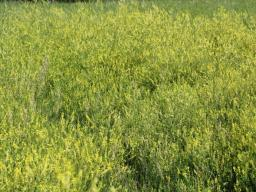 Sweetclover shows up naturally in pastures each year.  Photo courtesy of Troy Walz.