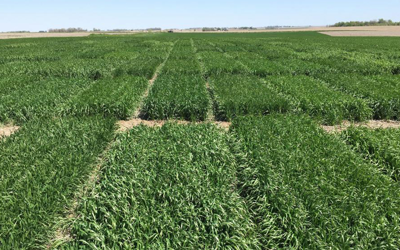 Winter wheat variety trials in Washington County in 2017