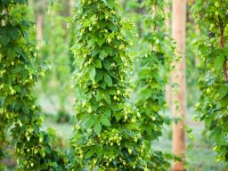 Hop bines growing at Midwest Hop Producers in Plattsmouth, NE.