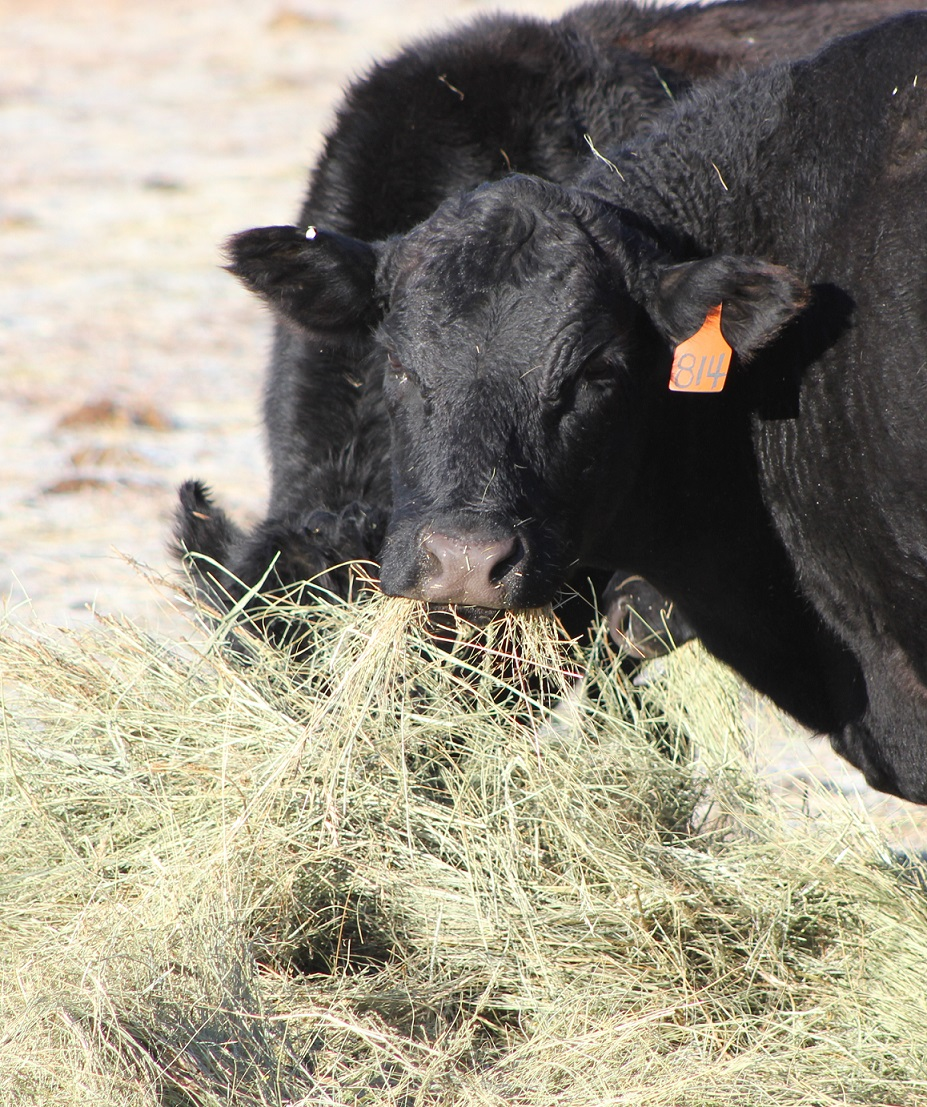 What feed resources would provide needed energy and protein for the least cost?  Photo courtesy of Troy Walz.