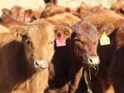 One of the classes of cattle that can be a dilemma when the question of keep or sell comes up is weaned heifer calves.  Photo courtesy of Troy Walz.