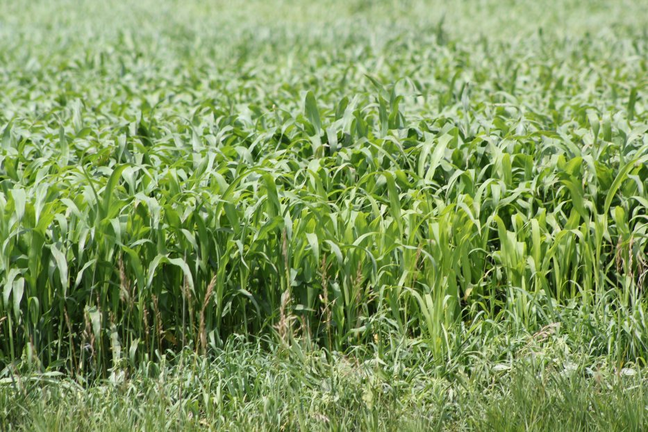 All sudangrass and sorghum-type hybrids can produce a compound called prussic acid that is potentially poisonous.  Photo courtesy of Troy Walz.