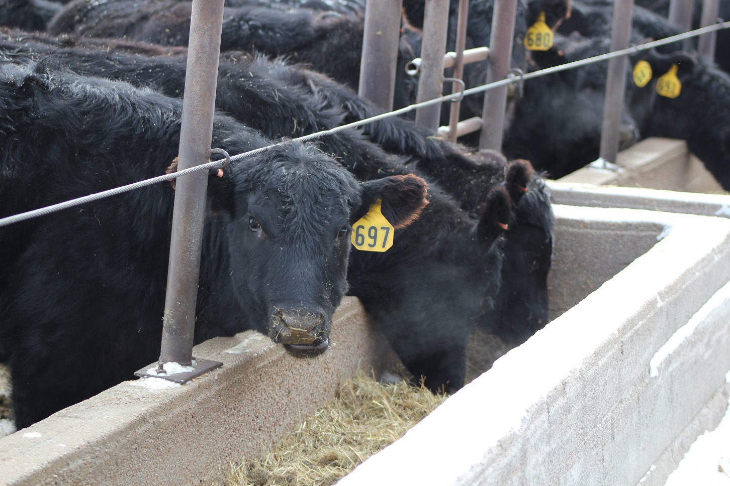 The overall goal of feed bunk management is to maintain consistency within the feeding system.  Photo courtesy of Troy Walz.