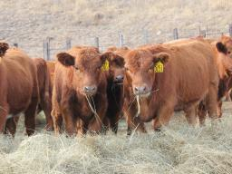 Weaning is a major stress in a calf's life and on their immune system. Photo courtesy of Troy Walz.