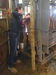 Pregnancy diagnosis is a very valuable tool in the beef industry.  Photo courtesy of Troy Walz.