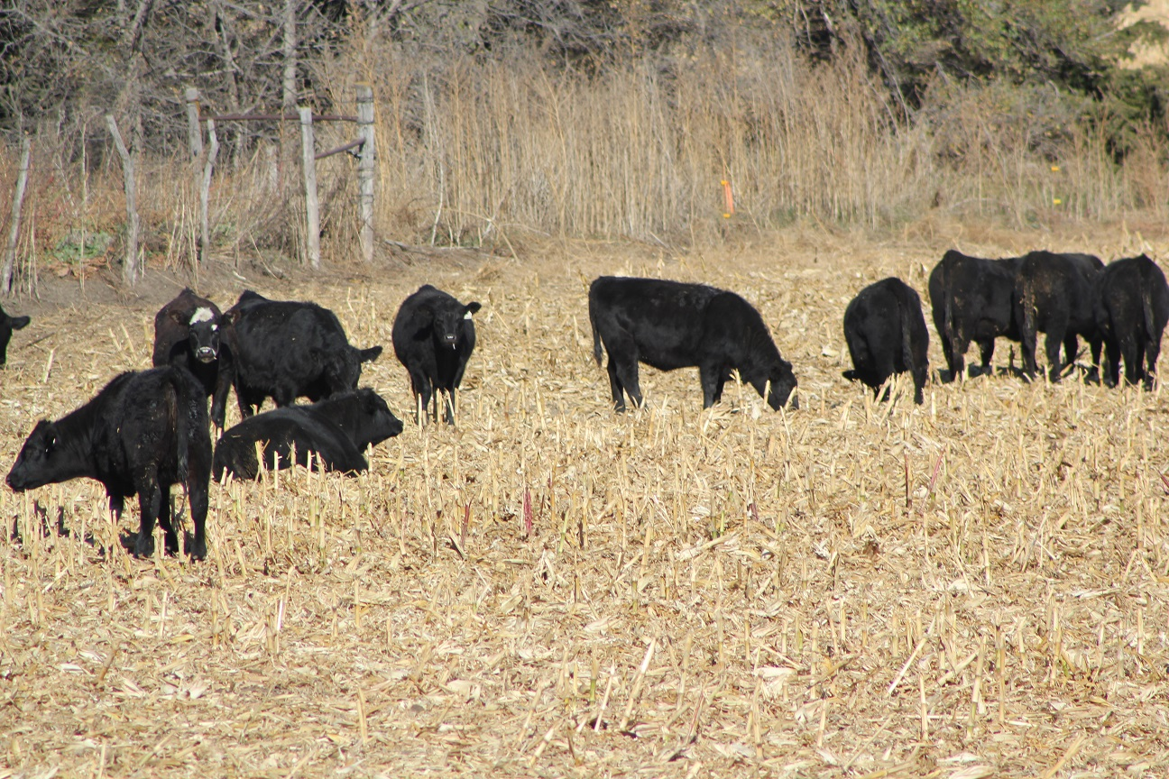 If you are looking to background calves or grow replacement heifers this winter grazing corn residue and providing supplemental distillers may be a system to consider. Photo courtesy of Troy Walz.