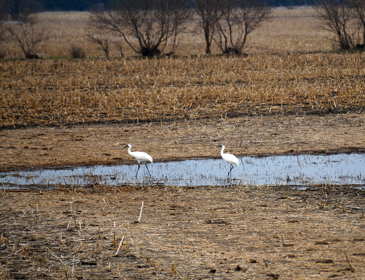 Whooping cranes utilize Nebraska fields during their migration. | Image courtesy Mary Bomberger Brown, SNR