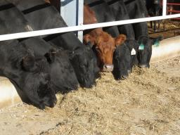 Kansas and Nebraska Extension are hosting a 3 meeting series to address some possible options to help maintain cattle inventory with limited perennial pastures. Photo courtesy of Mary Drewnoski.