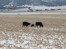 Cornstalk residue can be a great winter feed resource for cows.  Photo courtesy of Karla Jenkins.