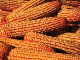 Prior to grazing cornstalks with cattle, an estimate should be made of the amount of corn that is present in the field.  Photo courtesy of USDA-NRCS.