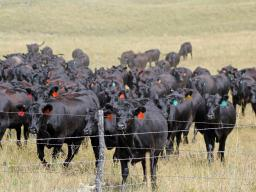 Many valuable beef cattle reproduction resources can be found at beefrepro.info.  Photo courtesy of Troy Walz.