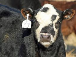 For cow-calf producers, UCOP is figured as cost per pound of weaned calf. Photo courtesy of Troy Walz.