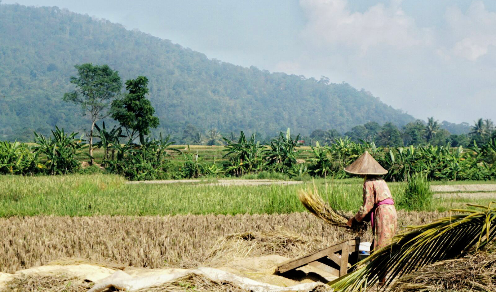 Rice field in Banten Province, Indonesia. Patricio Grassini | Agronomy and Horticulture