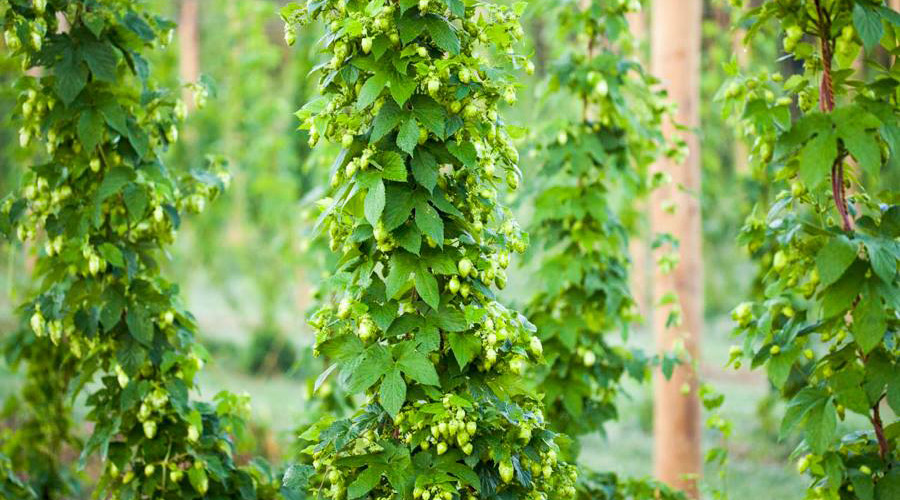 Hops contribute the bitter and aromatic flavors to beer.
