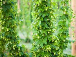 Hops contribute the bitter and aromatic flavors to beer. Recent increasing demand in specialty beers and locally sourced ingredients, compounded with the decline in worldwide hop production and commodity crop prices, has resulted in an increased interest