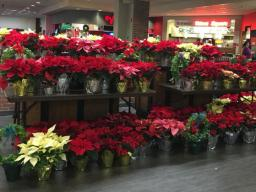 Horticulture Club's poinsettia sale