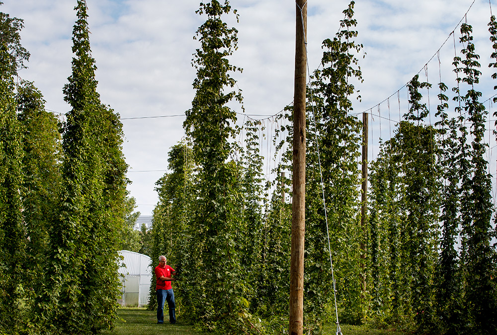 Stacy Adams examines hops on bines growing on Nebraska's East Campus. Adams is leading a multi-year, state-funded study to see if hops can be reliably grown and used as an alternative crop for farmers in the Cornhusker State. Craig Chandler | UComm