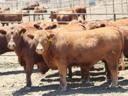 Beef feedlot managers, owners, employees and supporting industry personnel will learn new information related to feedlot nutrition and health at Nebraska Extension's 2018 Beef Feedlot Roundtables Feb. 6-8 in Bridgeport, Lexington and West Point. Photo cou