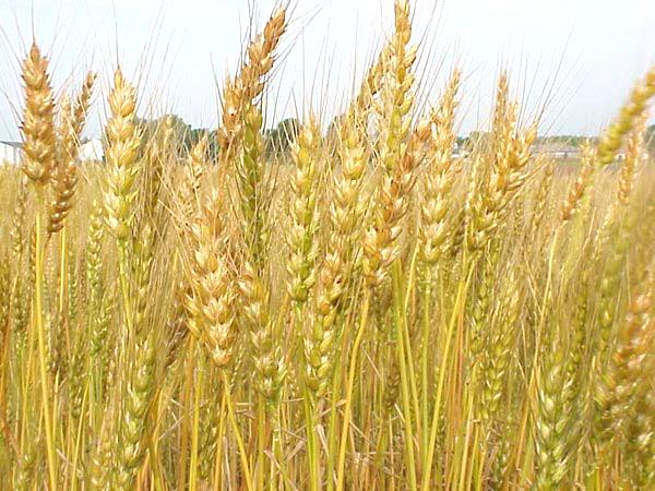 wheat-production.jpg