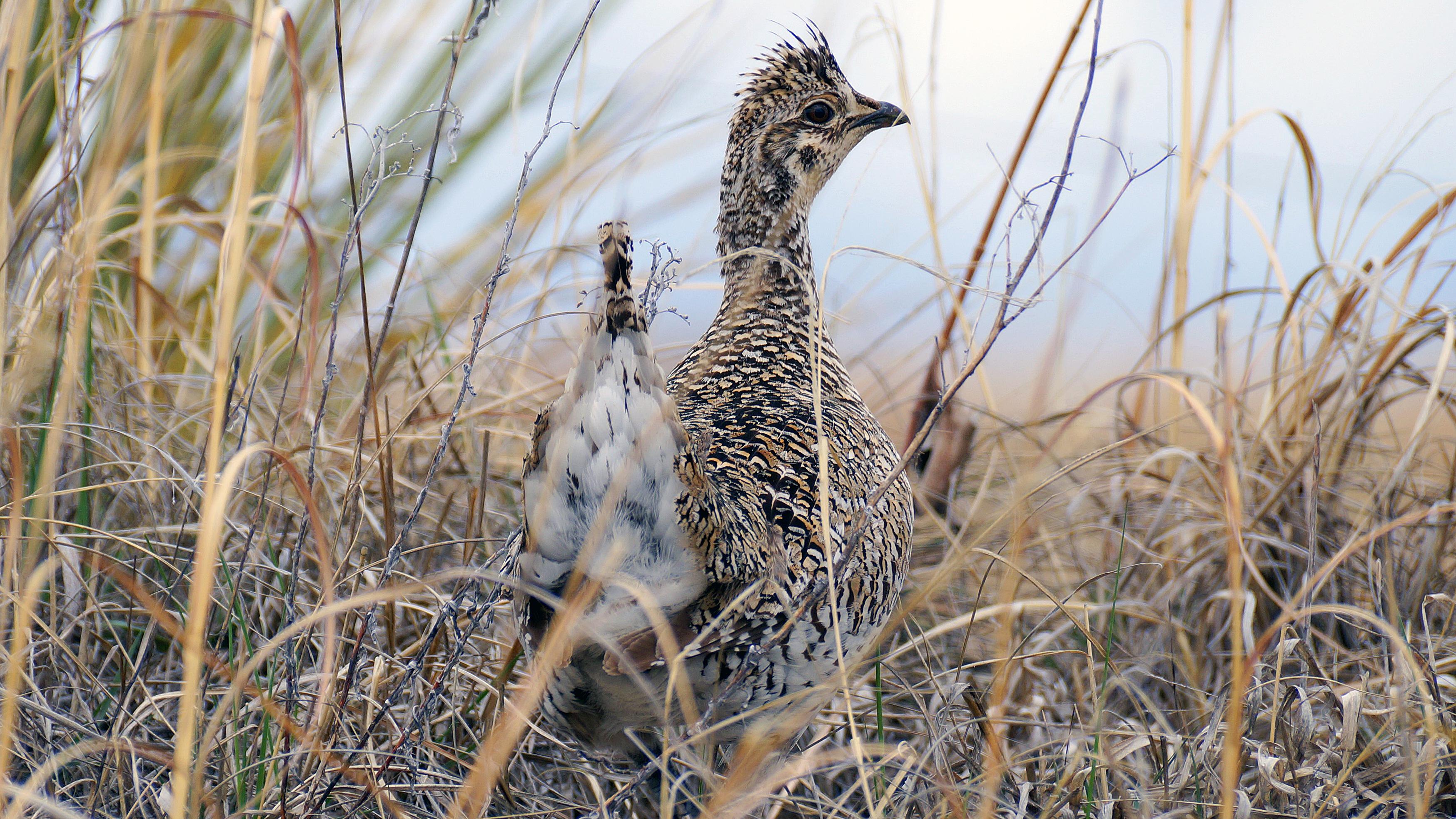 Sharp-tailed grouse. | Photo courtesy Joel Jorgenson