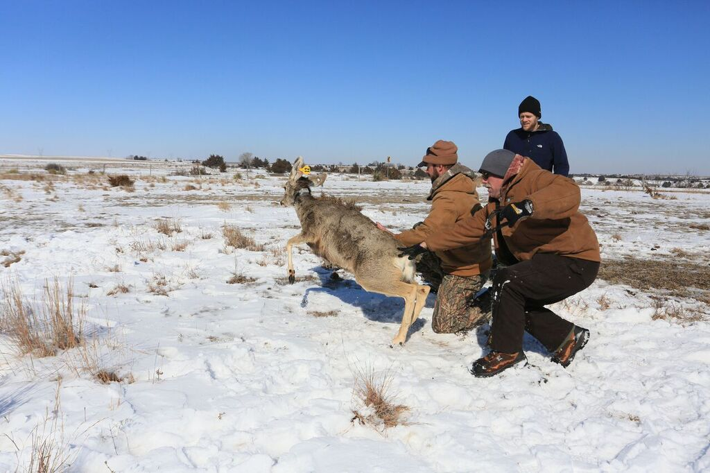 Commission staff release a mule deer doe back to the wild after equipping it with a radio collar in southwest Nebraska. Pictured (from front to back) are Nebraska Game and Parks Commissioner biologists Mark Feeney and Lance Hastings along with the SNR pro